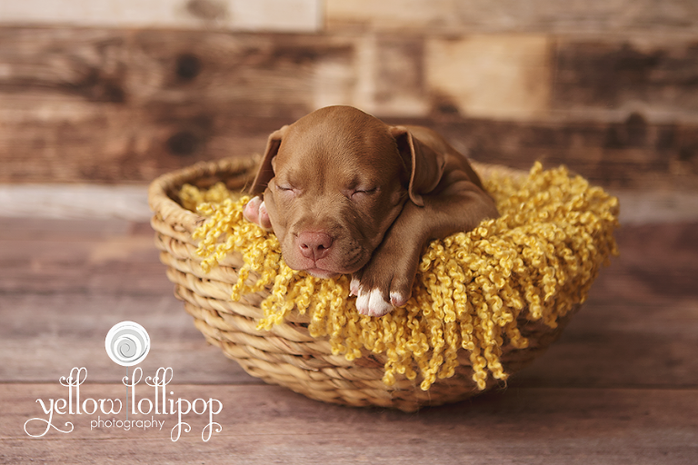 Puppy dog newborn session hunterdon county nj